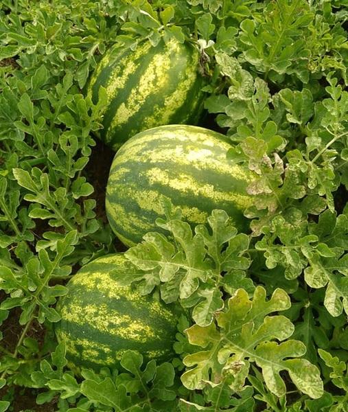 Maior plantio individual de melancia por gotejamento do Brasil está em Guaraí; são 500 hectares
